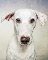 Blanca (Bea Burin-Herbst | Fotografie) Tags: blanca dog dalmatian portrait hund hndin dalmatiner lemon lemondalmatiner doggy studio indoor pet haustier haustierfotografie petphotographer petphotography pets haustierfotograf cute ss lovely