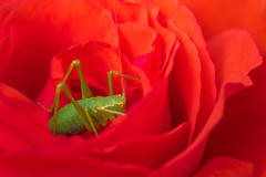 Green on red (Phal44) Tags: canon 7d2 7d mk2 100mmf28 f28l macro rose red flower green insect garden