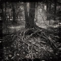 Them. (Creepella Gruesome) Tags: iphone6splus hipstamatic nature woods tree roots gnarled squareformat blackandwhite spooky creepy phantasm