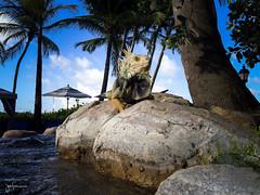 Permanent Vacation (josefrancisco.salgado) Tags: antillasmayores apple greaterantilles puertorico rogrande romar westindies fauna iphone iphone6plus iguana lagarto lizard pr