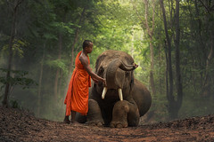 Monk with  elephants . (visootuthairam1) Tags: monk myanmar praying mammal travel animals adult symbol walking male ivory orange saffron tusk people poor traditional asia indigenous forest local face men rural tourism buddha wild large tranquil vietnam wildlife national sitting culture elephant indonesia robe tree thailand grass novice