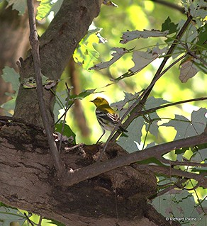 Black-throated Green Warbler_3794