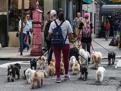 Out For A Walk (CVerwaal) Tags: dogs streetphotography newyork ny usa dogwalker sonyrx100iii lotsofdogs
