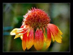 Kokarde (karin_b1966) Tags: blume flower blte blossom pflanze plant garten garden natur nature 2016 kokarde yourbestoftoday