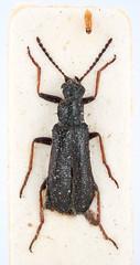 Dasytes inexpectata Palm, 1974 (Biological museum, Lund University: Entomology) Tags: coleoptera dasytes inexpectata dasytidae mzlutype01168