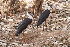 0238 Wollhalsstorch - Asian Woolly-necked Stork (uwizisk) Tags: asiatwollhalsstorch ciconiaepiscopusepiscopus india indien ranthambhorenationalpark vgel birds