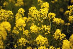 L1008475c (haru__q) Tags: leica m8 leitz summicron field mustard 菜の花 bee 蜂