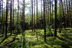 Forest delight (Ib Aarmo) Tags: forest woods trees green pine outdoor nature