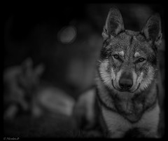 Django... (Pilouchy) Tags: django wolf noir monochrome animal lumiere story legend histoire free life vie eyes regard wild
