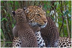 Mother leopard (Panthera pardus) and her cubs .... (Martha de Jong-Lantink) Tags: 2011 janvermeer kenia kenya leopard luipaard maasaimara pantherapardus safari