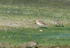 Becasseau variable-Calidris alpina - Dunlin 3091.jpg (Zoizeaux de Gabriel) Tags: alentejo bcasseauvariable calidrisalpina dunlin lagoasdesantoandr portugal