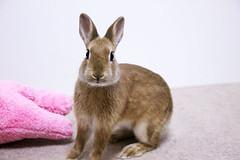 ICHIGO san 315  (mensore) Tags: brown bunny cute ichigo pet rabbit
