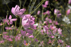 - Autumn wind (shig.) Tags: autumn wind cosmos flower flowers pink canon eos 70d