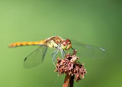 Libelle (Geziena) Tags: libelle closeup macro macrolens 150mm sigma nikon d600 natuur outdoor dof