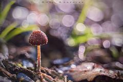 Strawberry Mushroom (www.studio360fotografia.es) Tags: canaldecastellar primotar setas meyeroptik primotar50mmf35 d700 seta nikon mushroom hongo bosque forest bokeh desenfoque danigonzalez