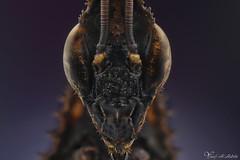 Ghost Mantis (Yousef Al-Habshi) Tags: ghost mantis insect eyes macro yousef al habshi nikon d800e uae abu dhabi