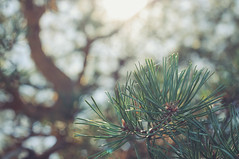 In the pines, where the sun does shine (*M.*) Tags: pines pine fichte nature bokeh depthoffield 50mm light