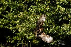 Buse variable (http://www.jeromlphotos.fr) Tags: bird oiseau rapace rapacious buse nature natural canon eos 7d 100400 bretagne britany breizh illeetvilaine acign 35 vol trees arbres vert green