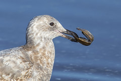Conundrum (Paul Rioux) Tags: nature avian bird seagull gull outdoor conundrum prioux clam shell