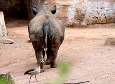 World Rhino Day (BrigitteE1) Tags: worldrhinoday 22ndseptember rhino rhinozeros nashorn spitzmaulnashorn ostafrikanischesspitzmaulnashorn rhinoceros eastafricanblackrhinoceros dicerosbicornismichaeli cr vomaussterbenbedroht threatenedwithextinction erlebniszoohannover zoo deutschland germany nilgans egyptiangoose alopochenaegyptiaca