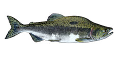 Pink Salmon (NYS Department of Environmental Conservation) Tags: nysdec nysdepartmentofenvironmentalconservation inland fish freshwater