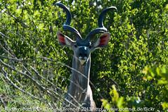 "Kudu Antilope • <a style=""font-size:0.8em;"" href=""http://www.flickr.com/photos/56545707@N05/8365039746/"" target=""_blank"">View on Flickr</a>"