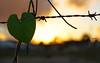 <3 (dayanaluiza) Tags: sol de do amor natureza fim coração folha por tarde arame farpado