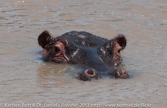 """Hippo • <a style=""""font-size:0.8em;"""" href=""""http://www.flickr.com/photos/56545707@N05/8399197242/"""" target=""""_blank"""">View on Flickr</a>"""