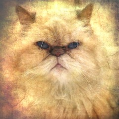 Ruby (jjamv) Tags: pet cats cute texture animal cat persian eyes kitten kat feline chat soft longhair kitty kittens whiskers explore gato gata meow katze ruby gatto kater cutecats pedigree pasaporte petportrait felina persa longhaired persiancat gati cutekitten kittenpictures tabbypoint animalphotography catswhiskers catpictures colorpoint colourpoint catphotos kittenpics beautifulcats longhairedcat catpics kissablecat bestofcats catsonthescene flyffy catmoments lilaccream kittenimages photoofcats pedigreepersiancat jjamv mycatruby vpu1 julesvtravel galleryoffantasticshots vigilantphotographersunite vpu2 vpu3 vpu4 vpu5 vpu6 vpu7 vpu8 vpu9 vpu10 vpu20xl10awards boc0513 juliusvloothuis
