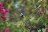 Great Tit (Parus major) (Imthyas Ahmed Shirajee) Tags: bird nature birds photography major nikon university tit photographer wildlife great photographers delta east ahmed ctg bangladesh vr bangla parusmajor birdwatcher parus chittagong 70300 d90 imti greattitparusmajor pakhi birdsofbangladesh chattagram imthyas shirajee mehidibag
