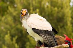 6/52 WFND You there, still breathing? ok I'll wait... (utski7) Tags: arizona vulture renfest 2013 52wfnd