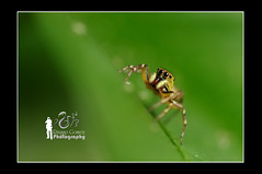 Borneon Jumping Spider (Ringgo Gomez) Tags: 1001nights pictureperfect macroextreme macrolicious flickrsbest topseven worldbest anawesomeshot nikond90 flickraward flickrdiamond malaysianphotographers theunforgettablepictures elitephotography macromarvels macrolife perfectphotographer sarawakborneo nikond90club corcordians 1001nightsmagiccity flickraward5 mygearandme flickrawardgallery