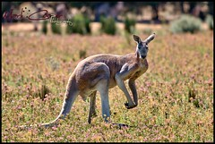 Big Red (Mark-Cooper-Photography) Tags: park red fauna canon big australia victoria kangaroo 5d vic outback roo 400mm kyabram 5dmarkiii markcooperphotography ef400mmf56f56lusm