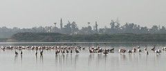 Flamingos & Hala Sultan Tekke (polis poliviou) Tags: life morning winter white lake seascape bird nature animals speed landscape grey wings mediterranean wildlife islam flamingo flight salt flamingos species sultan laguna tekke dust inland cipro wading hala badweather costal polis zypern larnaka kypros phoenicopteridae chypre chipre kypr cypr cypern supershot seriousphotography  kipras ciprus halasultantekke importantbirdarea flickraward republicofcyprus purplewing  seriousphotographers  superaward  poliviou polispoliviou   cyprusinyourheart    larnacainternationalairport sayprus chipir wwwpolispolivioucom yearroundisland cyprustheallyearroundisland polispoliviou2013 larnacapink barcelonaconvention
