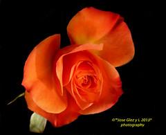 Orange special rose (Pepe (ADM)) Tags: orange flower nature rose flor special fiori fleure supershot coth5 5wonderwall orangespecialrose