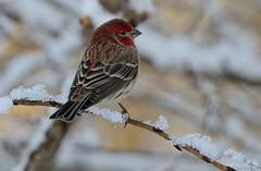 Finch (snooker2009) Tags: winter red house snow bird nature birds outdoors wildlife small finch getty migration thewonderfulworldofbirds dailynaturetnc12 photoofthedaynwf12
