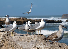 seagulls of Essaouira (smokykater - 330k+ views) Tags: africa sea rock seagull gulls essaouira marokko mven mygearandme mygearandmepremium mygearandmebronze