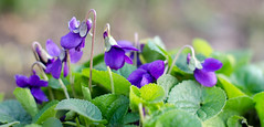 Simply Violet (Patsy L Smiles) Tags: flowers flower spring violet elementsorganizer