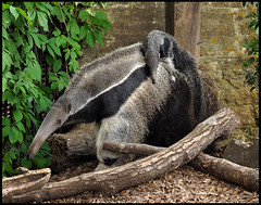 Giant Anteater and Baby (dralun10) Tags: mygearandme mygearandmepremium allofnatureswildlifelevel1 allofnatureswildlifelevel2