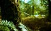 green forest (Jos Mecklenfeld) Tags: fern green film nature netherlands rollei forest 35mm minolta natuur rangefinder himatic 40mm groningen bos terapel 7sii rokkor westerwolde varens minoltahimatic7sii epsonv500 nulbos crossbird rolleicrossbird