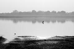 T52/10 Lone Bird @ Gandipet (Rajesh_India) Tags: morning bw india bird sony lone migratory hyderabad andhra pradesh gandipet osmansagar