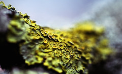 Liking Lichen {Explore!} (majestiele) Tags: orange macro tree yellow canon photography branch dof bokeh depthoffield fungus lichen common 5dmkiii