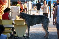 Excuse Me, Is This Seat Taken? Adelaide_5573  (Explore) (Rikx) Tags: dog giant table restaurant seaside cafe chairs outdoor explore eat adelaide southaustralia glenelg eatery irishwolfhound bigdog hugedog megadog giantdog enormousdog verylargedog megamutt caninecolossus