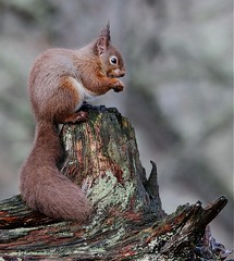 Red squirrel on stump (kimbenson45) Tags: brown green animal scotland rodent eating perch lichen animalplanet treestump bushytail cairngorms redsquirrel tuftyears diamondclassphotographer flickrdiamond naturesimages