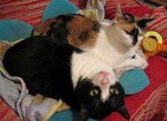 199-January'13 (Silvia Inacio) Tags: cats cat gatos tuxedo gato calico gata pipoca noddy