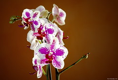 Orchid in backlight (nicol parasole) Tags: flowers orchid flower backlight pentax strobist flickraward pentaxart da60250 flickraward5 metz58af2 nicopara71 nphotography k5iis