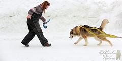 Saint Bernard Club of Alaska, World Championship Dog Weight Pull (North America Nature Photography) Tags: alaska competition anchorage saintbernard furrondy 2013 dogweightpull