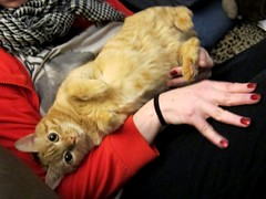 Effie, Cuddle Artist (Jimmy Legs) Tags: street orange cats female tabby cuddly bushwick effie adoptable lapcat fiv