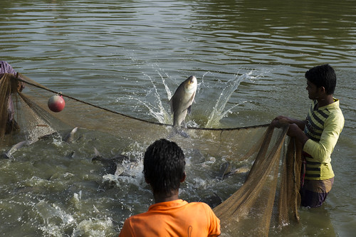Harvesting fish from a hatchery in Barisal, Bangladesh. Photo by Finn Thilsted, 2012.