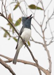 Leaden Flycatcher (boombana) Tags: bribieisland 2012 flycatcher myiagra myiagrarubecula leadenflycatcher